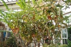 仙女の舞(多肉植物)